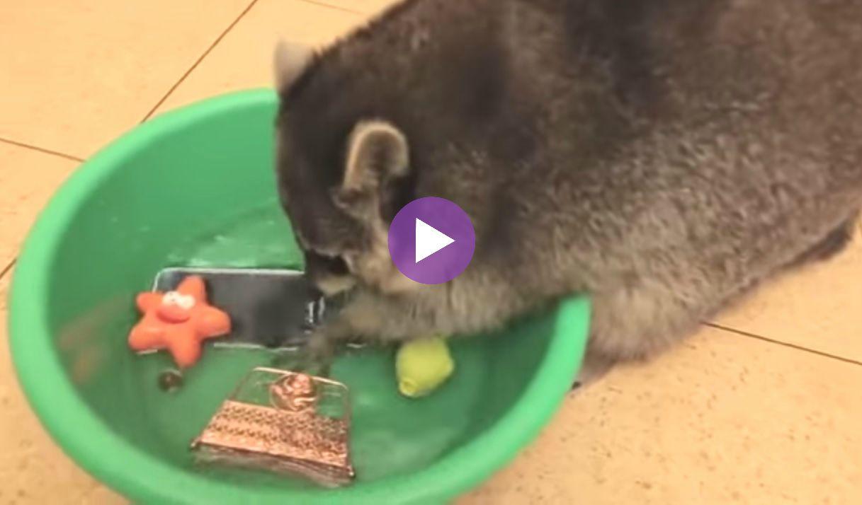 WATCH: This Pet Raccoon Has an Adorably Hilarious Hobby