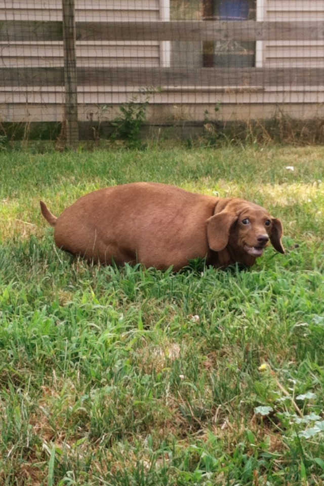 How To Help Your Overweight Dog Lose Weight Dennis The