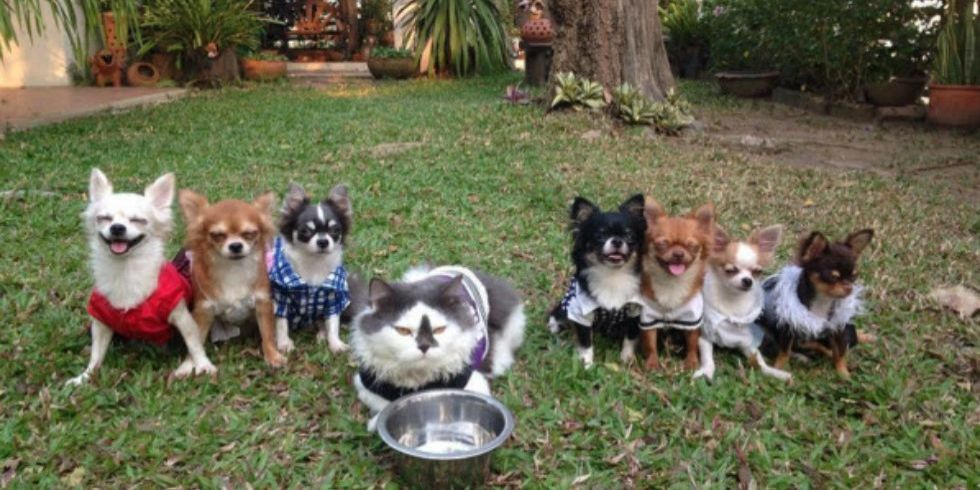 Boss Cat Heads A Pack Of Precious Chihuahua Dogs In The