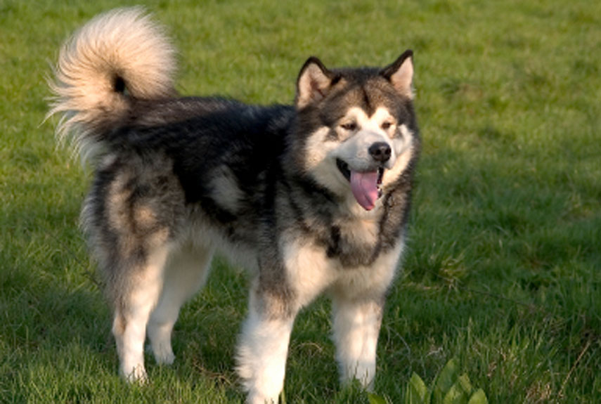 30 Best Large Dog Breeds