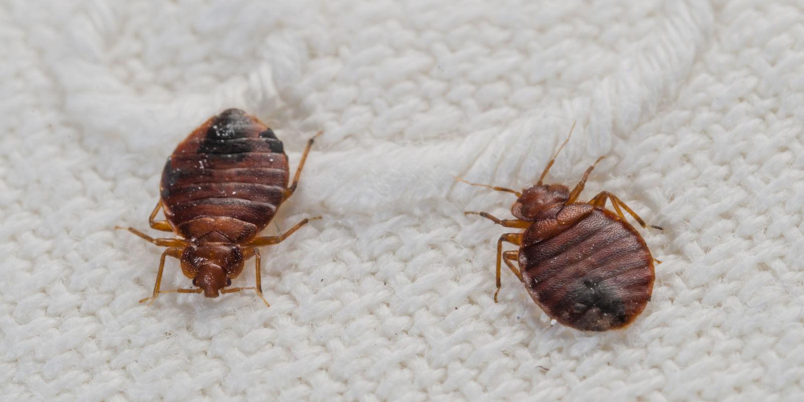 Baby bed bugs in bathroom - Baby Bed Bugs In Bathroom 13