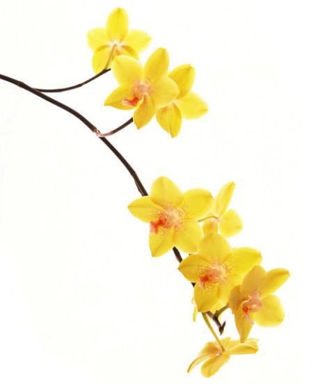 http://wdy.h-cdn.co/assets/cm/15/09/480x552/54eb9e644f8a9_-_orchid-yellow-xl.jpg
