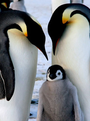 Penguins - Penguin Facts for Kids at WomansDay.com