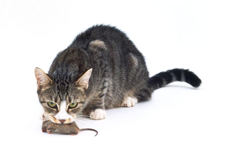 ленива мышка не ловит мышей