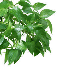 Charmant 11 Best Indoor Vines And Climbers You Can Grow Easily In Your Home .